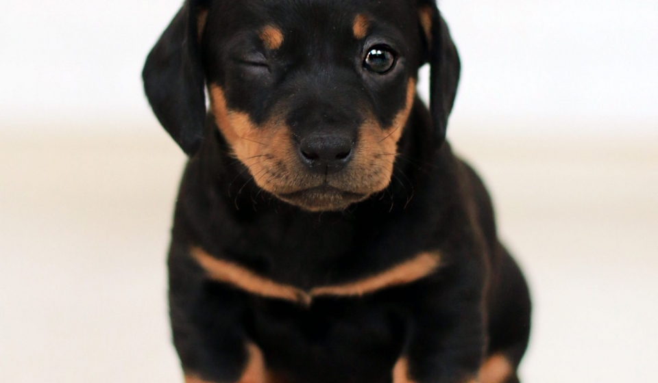 winking-black-and-brown-puppy-2023384